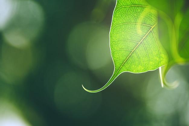 Feuille de bo vert avec la lumière du soleil le matin