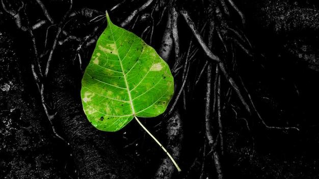 Feuille de bo vert sur la racine de l'arbre après la pluie
