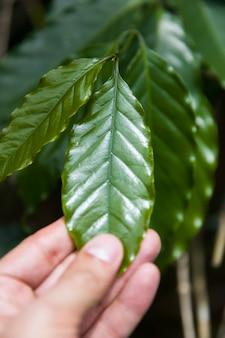 Feuille de café luwak