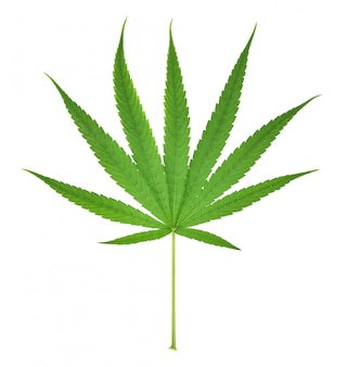 Feuille de cannabis, feuille de marijuana isolée sur fond blanc