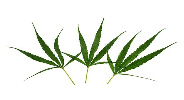 Feuille de cannabis, marijuana isolé sur fond blanc
