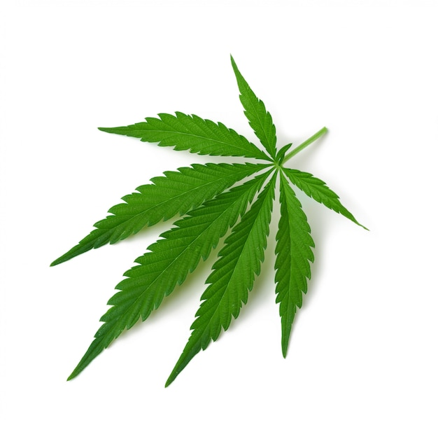 Feuille de cannabis vert isolé sur fond blanc, vue de dessus