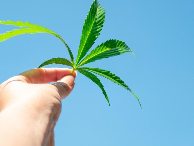 Feuille de cannabis vert à la main contre le ciel bleu clair.