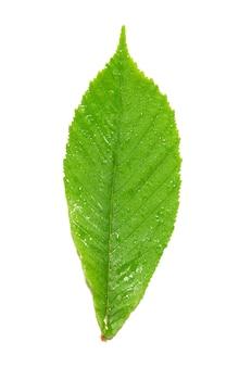 Feuille de châtaignier humide verte isolée