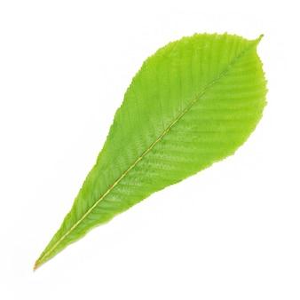 Feuille de châtaignier vert isolée.