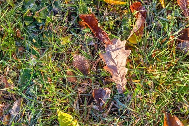 Feuille de chêne d'automne jaune recouverte de la première gelée au sol dans l'herbe verte à la lumière du soleil. fermer.