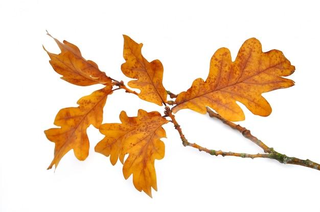 Feuille de chêne sur une petite branche
