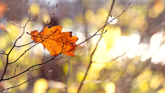Feuille de chêne sec dans la forêt sur un arbre sur un arrière-plan flou avec bokeh