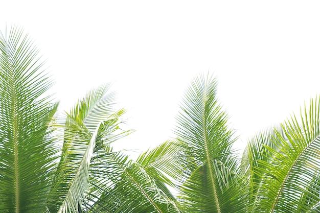 Feuille de cocotier sur fond blanc