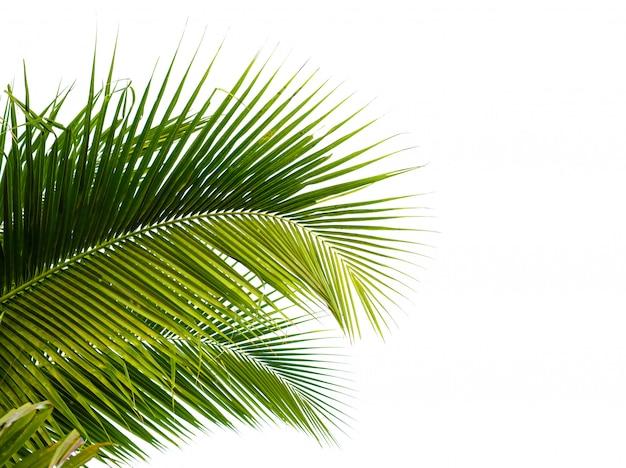 Feuille de cocotier isolé