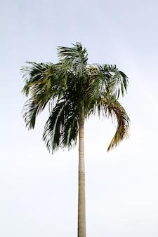 Feuille de cocotier vert