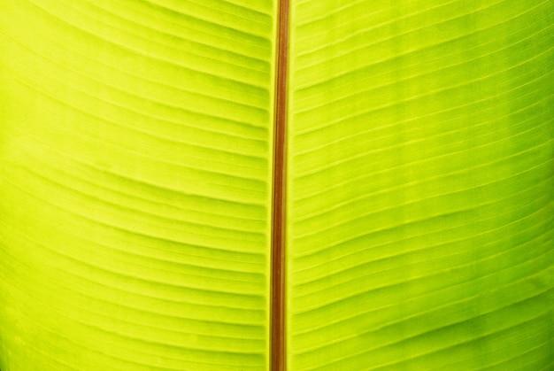 La feuille ensoleillée de banane verte peut être utilisée pour le fond