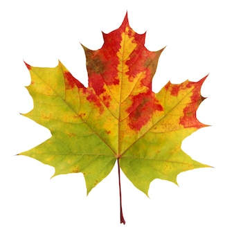 Feuille d'érable automne isolé. herbier. feuille avec des taches rouges et jaunes.