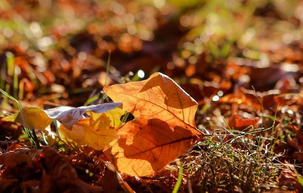 Feuille d'érable automne jaune dans l'herbe