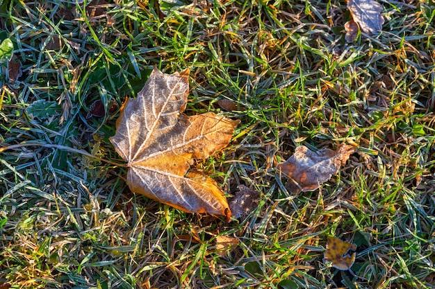 Feuille d'érable d'automne jaune recouverte de la première gelée au sol dans l'herbe verte à la lumière du soleil.