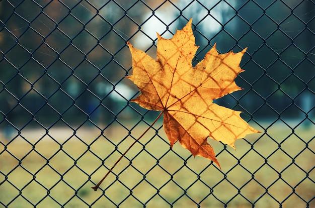 Feuille d'érable dans le fond de la clôture