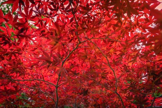 Feuille d'érable japonais automne rouge dans le jardin avec la lumière du soleil.