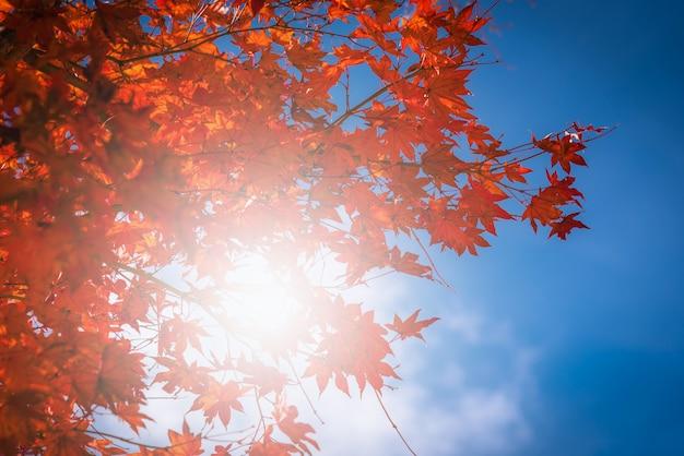 Feuille d'érable japonais rouge automne sur ciel bleu dans le jardin avec la lumière du soleil.