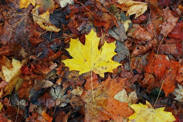 Feuille d'érable jaune sur vieilles feuilles sèches