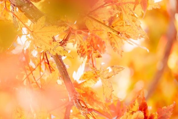 Feuille d'érable momiji d'automne