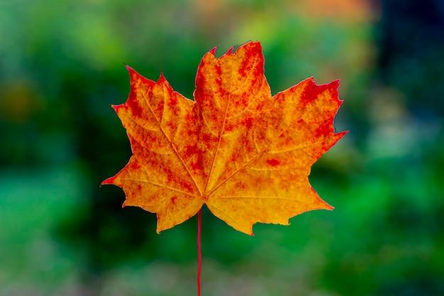 Feuille d'érable orange rouge solo. concept d'automne.