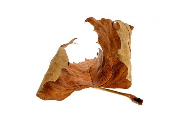 Feuille d'érable sèche isolée sur fond blanc. portrait d'une feuille d'érable sèche.