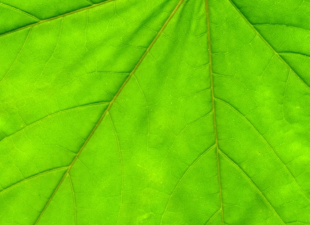Feuille d'érable verte