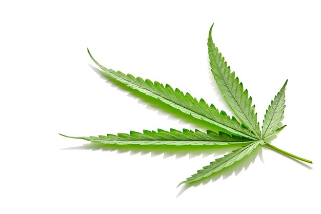 Feuille d'éventail de cannabis sur blanc