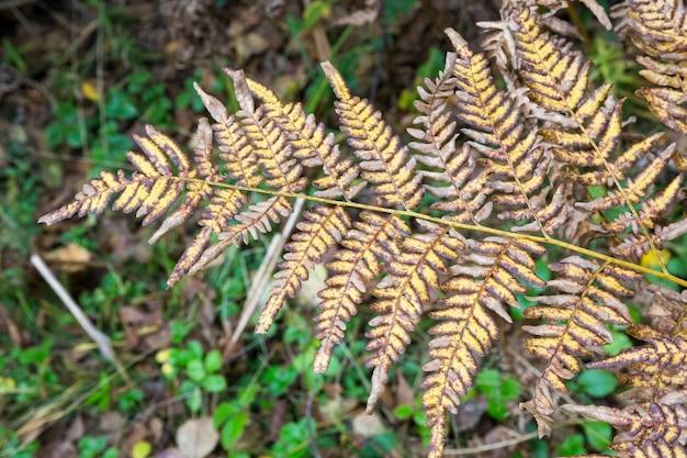 Feuille de fougère jauni sur un arrière-plan flou. feuille de fougère sèche dans la forêt. fond tropical d'automne. espace de copie