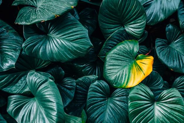 Une feuille jaune homalomena rubescent leaf (king of heart) en fond de feuilles vert foncé