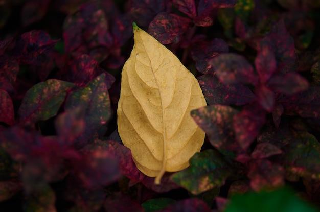 Une feuille jaune tombée sur les feuilles rouges