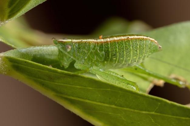 Feuille katydid nymphe de la tribu phaneropterini