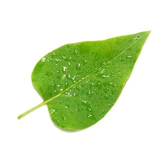 Feuille de lilas vert isolée.