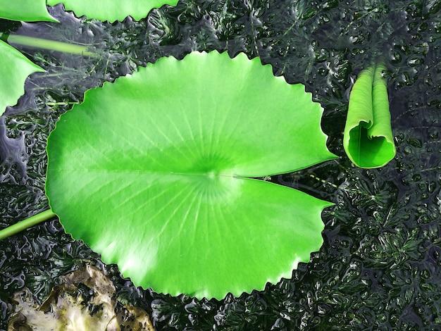 Feuille de lotus flottant sur l'eau