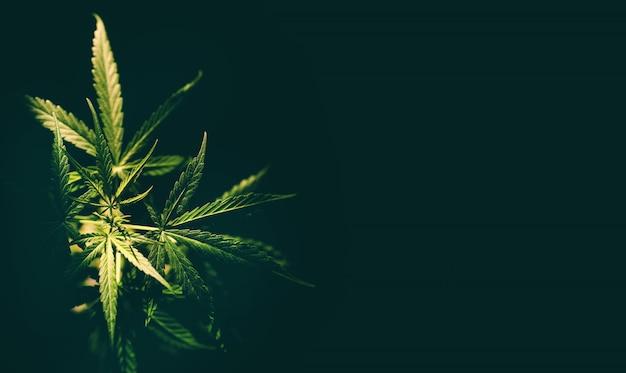 Feuille de marijuana arbre de plante de cannabis poussant sur fond noir - culture de feuilles de chanvre pour extraire les soins médicaux naturels