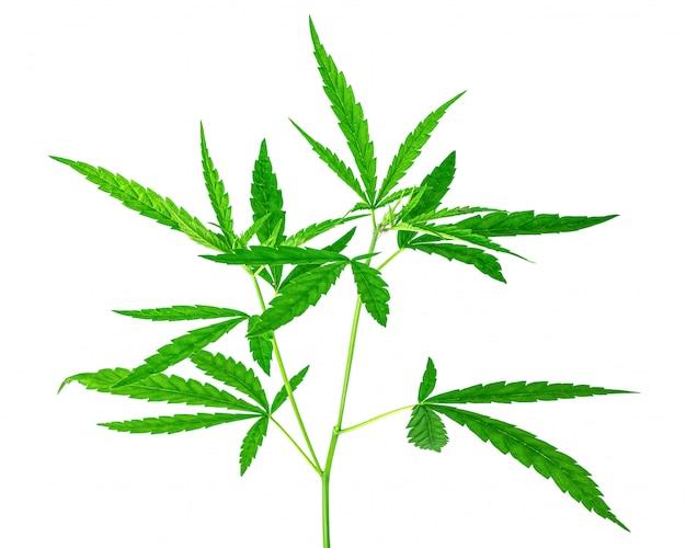 Feuille de marijuana sauvage isolé sur blanc pur.