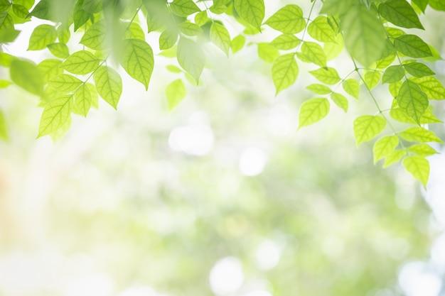Feuille de millingtonia hortensis vue sur la nature verte sur verdure floue