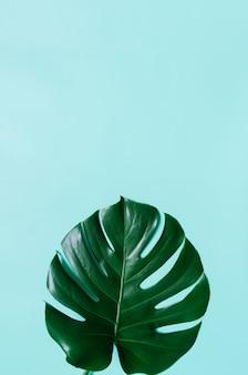 Feuille de monstera tropical plat vert posé sur fond bleu cyan. place pour le texte, la copie, le lettrage.