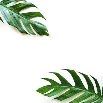 Feuille de monstera tropical vert sur fond blanc