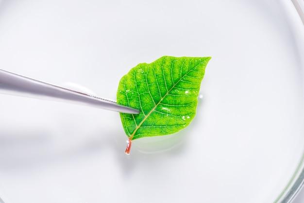 Feuille naturelle fraîche verte dans un plat de laboratoire, plateau