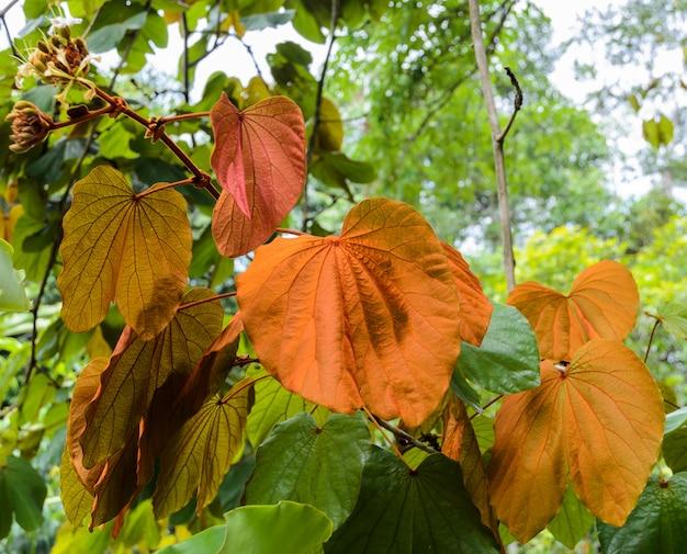 Feuille d'or de bauhinia aureifolia