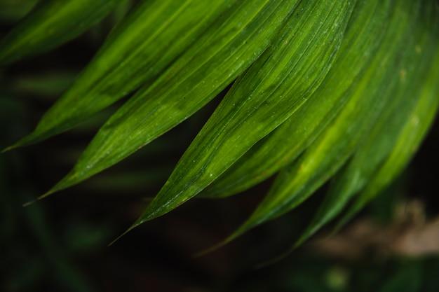 Feuille de palmier close-up