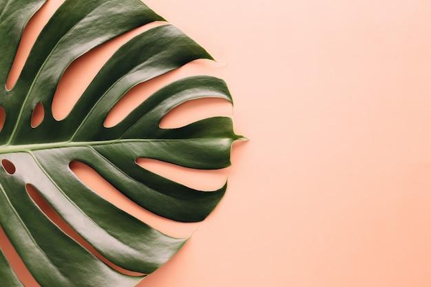 Feuille de palmier monstera vert sur fond beige. photo de haute qualité