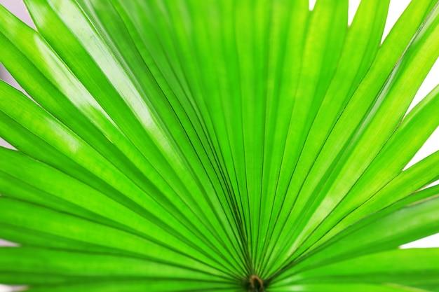 Feuille de palmier (palm livistona rotundifolia), close up