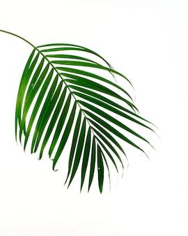 Feuille de palmier tropical sur fond blanc