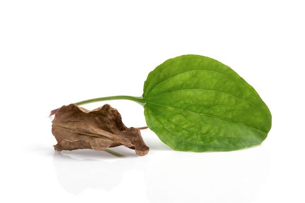 Feuille de plantain frais et séché majeur ou supérieur isolé sur blanc.