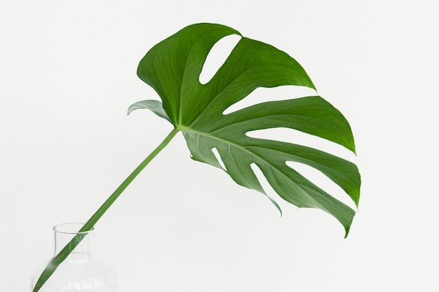 Feuille de plante monstera delicosa sur fond blanc