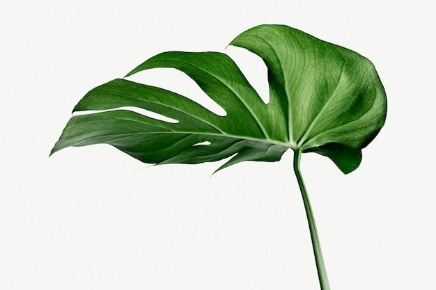 Feuille de plante monstera delicosa