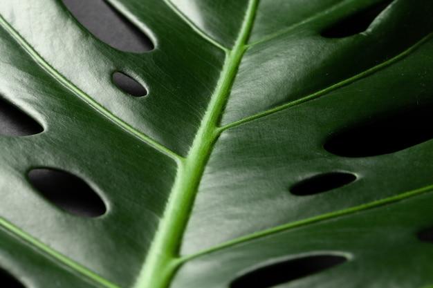 Feuille de plante tropicale monstera sur surface noire