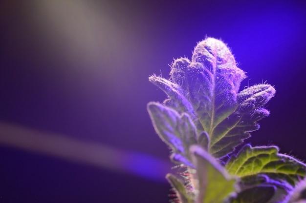 Une feuille de pousse dans un pot sous la lumière d'une phytolampe. fermer.